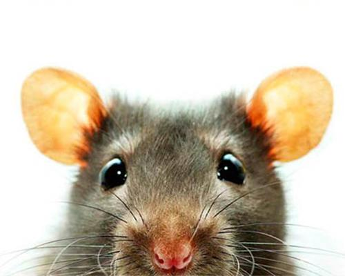 rat's head